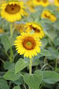 Sunflowers in a field - stock photo