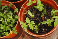 Remains of lettuce and basil plants in pots - stock photo
