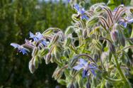 Stock Photo of Blooming Borage