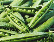 Many Picked Snap Peas - stock photo