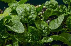 Baby Spinach; Wet - stock photo