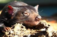 Stock Photo of tasmanian devil in australia