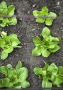 Lettuces in a flower bed (seen from above) - stock photo