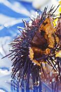 Sea Urchin; Close Up Stock Photos