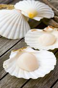 Fresh scallops - stock photo
