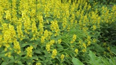 Dotted loosestrife (Lysimachia punctata) Stock Footage