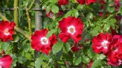 Rose (Rosa Dortmund) Stock Footage