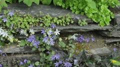 Bellflower (Campanula poscharskyana 'E.H. Frost') Stock Footage
