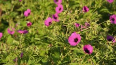 Cranesbill (Geranium psilostemon) Stock Footage