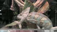 Stock Video Footage of chameleon in terrarium 03