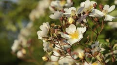 Rose (Rosa helenae) - stock footage
