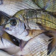 Fresh sea bream (gilt-head sea bream) - stock photo