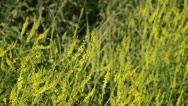 Yellow sweet clover (Melilotus officinalis) Stock Footage