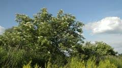 Common elder (Sambucus nigra) Stock Footage
