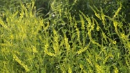Stock Video Footage of Yellow sweet clover (Melilotus officinalis)