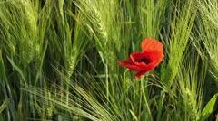 Corn poppy (Papaver rhoeas) and barley (Hordeum vulgare) Stock Footage