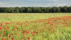 Corn poppy (Papaver rhoeas) and barley (Hordeum vulgare), Brandenburg, Germany Stock Footage