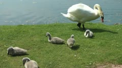 Swan protects signets from a mallard Stock Footage