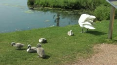 Swan and family of cygnets preening on grassy bank by lake - stock footage
