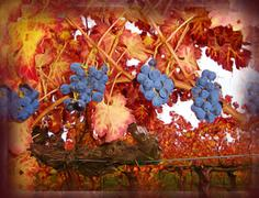 Choice of Grapes, Napa Valley CA - stock illustration