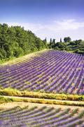 lavender in the landscape - stock photo