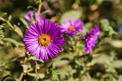 aster in nature - stock photo