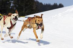 sportive dogs - stock photo