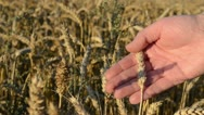 Farmer hand magnify glass tool closeup check wheat ear quality Stock Footage