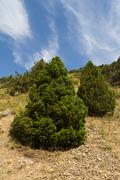 coniferous tree in the mountains of kazakhstan - stock photo