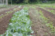 Organically grown cabbage Stock Photos