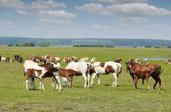 Three foals feeding with milk.JPG Stock Photos