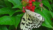 A butterfly searching for and feeding nectar from flowers Stock Footage