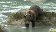 BEAR OVER BOULDERS Stock Footage