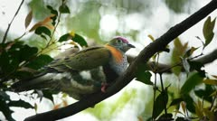 Rose crowned fruit dove Stock Footage