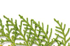 thuja on white background. macro - stock photo