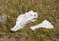 Stock Photo of skull and bones of a horse