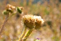 Round dry flower Stock Photos