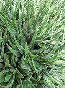 succulent plant detail - stock photo