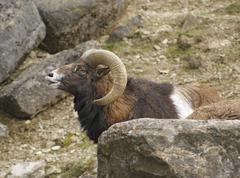 Mouflon portrait in stony back Stock Photos