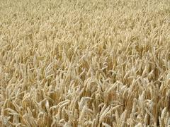Ripe wheat field in sunny ambiance Stock Photos