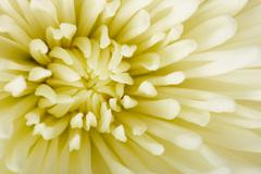 White aster flower close-up - background Stock Photos