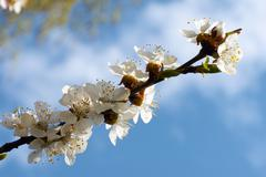 blossoming - stock photo