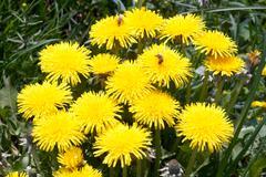 dandelion flowers - stock photo