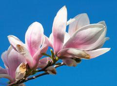 magnolia-tree - stock photo