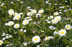 daisy flowers on grass - stock photo