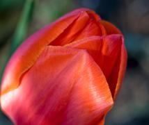 tulip (macro) - stock photo