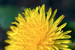 Yellow flower (dandelion) Stock Photos