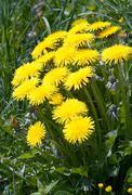 Dandelion flowers Stock Photos