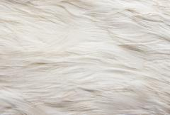 Stock Photo of goose feathers as a background