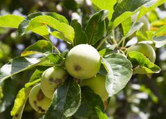 apples on the tree on the nature - stock photo